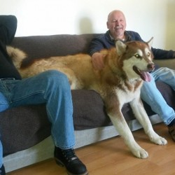 full grown alaskan malamute on a couch